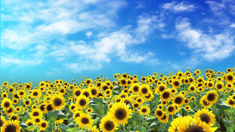 Sunflower field and sky, floating, loop 애니메이션