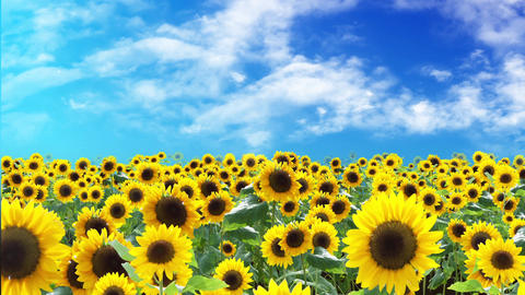 Sunflower field and sky and cloud, Loop 애니메이션