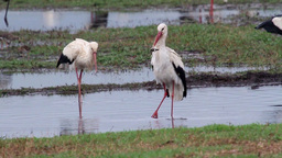 White Stork eating toad Footage