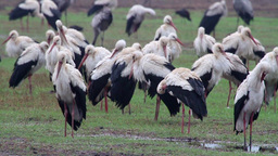 White Storks colony roosting in the rain Footage