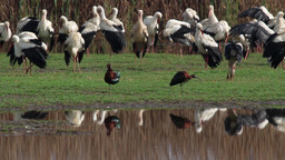 Glossy ibis and white storks Footage