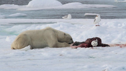 Polar bear and seagulls eating seal on ice Footage