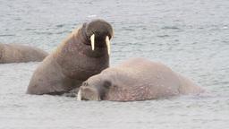 Walrus in the water of Spitsbergen Footage