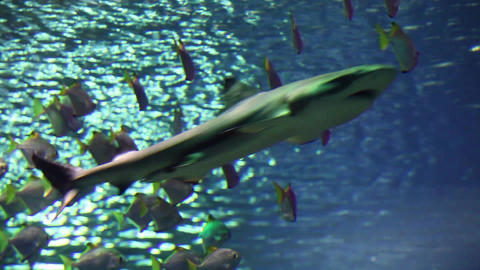 Reef Shark stock footage