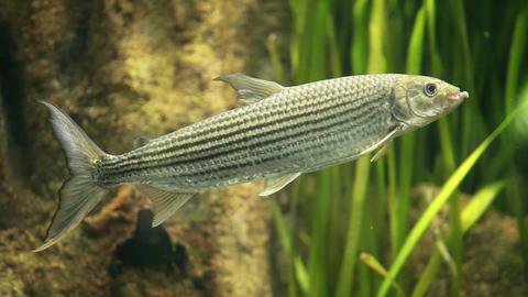 Tiger Fish Killer stock footage