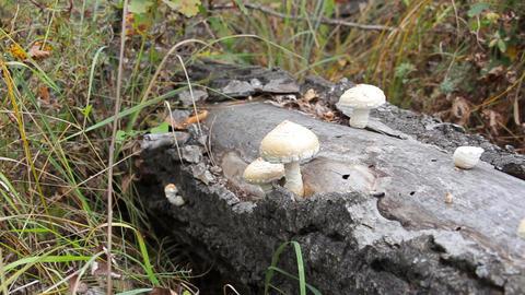 Mushrooms growing on the trunk Footage
