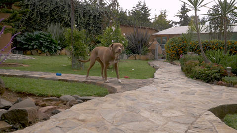 A well behaved pit bull terrier dog sits attentively in a yard in slow motion Live Action