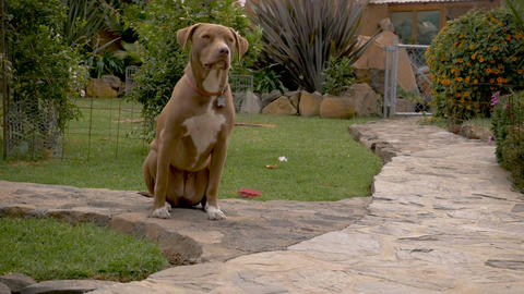 Obedient female pit bull dog patiently waiting in a sit stay in a lovely outdoor Footage