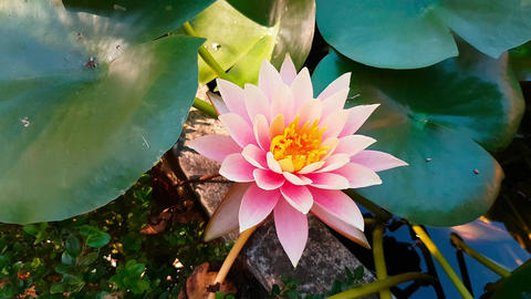 Pink Water Lily Flower Footage