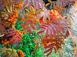 Rowan in autumn in Siberia Foto