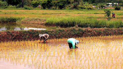 Farmers planting rice in the paddy field Filmmaterial