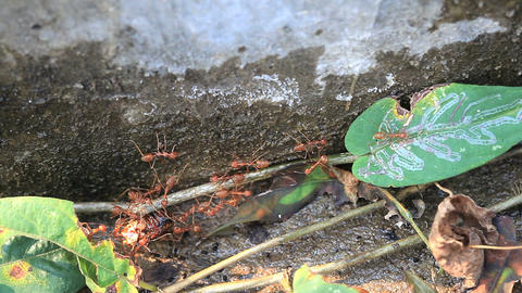 Red ants carried dead body of big insect ビデオ