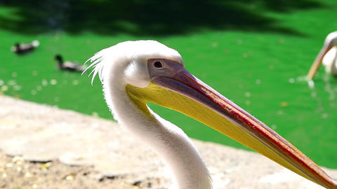 White pelican on a pond on a summer day ビデオ