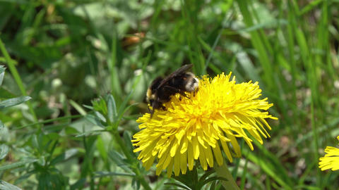 bumblebee on dandelion flower closeup Footage
