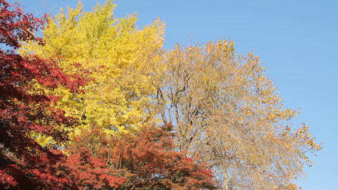 Autumn Leaves / Fall Colors / Tree / Blue Sky - Pan/Fix ビデオ
