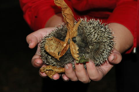 A small hedgehog lies on the hands of the girl and holds the leaves in the paws Photo