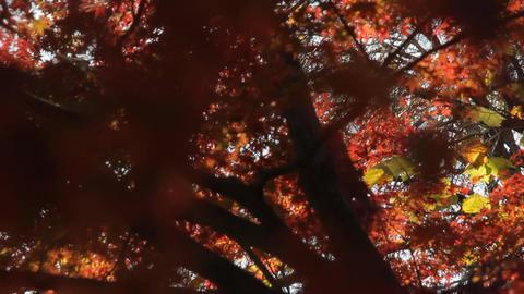 Autumn Leaves / Fall Colors / Bridge - Tilt Down/Fix ビデオ