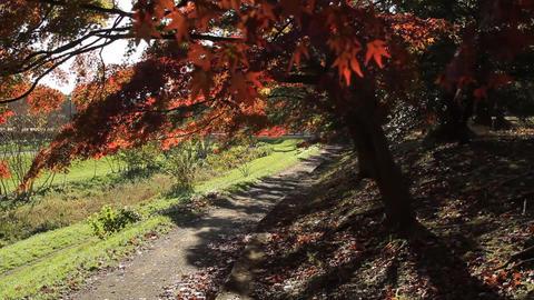 Autumn Leaves / Fall Colors / Tree / Backlight - Tilt Up/Fix ビデオ