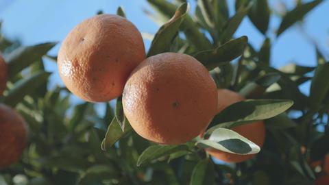 Mandarin orange tree,Tokyo,Japan,Filmed in 4K ビデオ