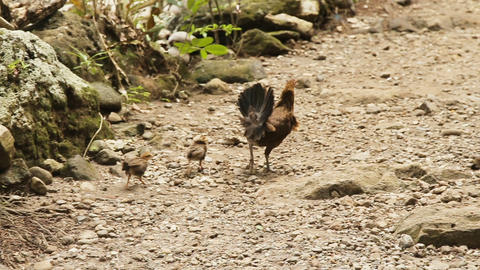 Mother chicken with its baby chicks Footage