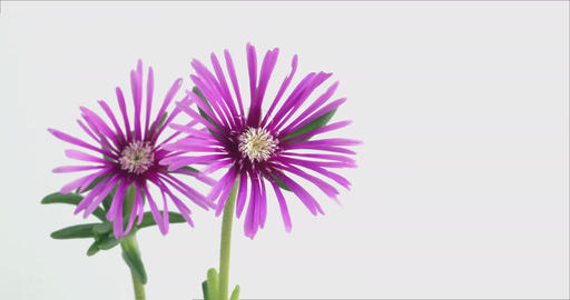 Blooming Flowers Time Lapse, Lampranthus spectabilis Footage