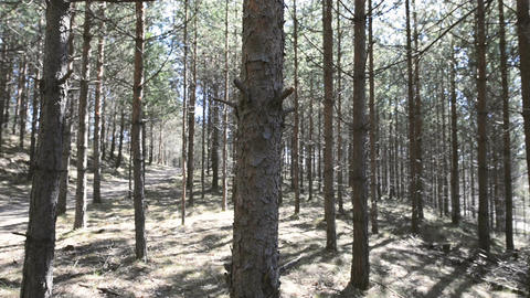 Pine forest in Sweden Footage