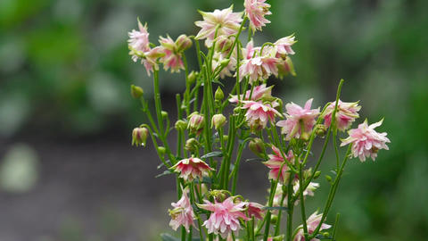 Pink decorative aquilegia flowers Footage