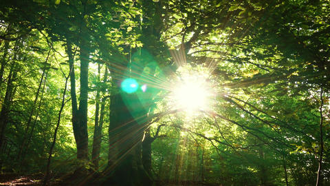 Huge tree with sun in the jungle Archivo