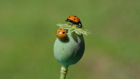 two lady luck – ladybug ladybird on poppy head Live Action