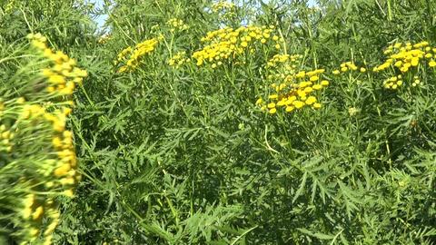 gardener pick medical herbs tansy (Tanacetum vulgare) flowers Footage