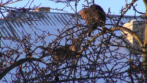 cats on winter apple tree branch Footage