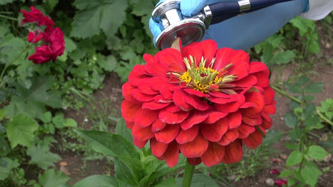 gardener looking flower zinnia health with stethoscope Live Action