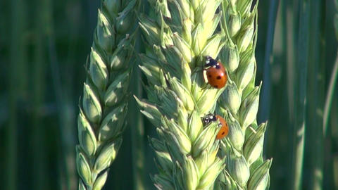 beautiful ladybird ladybugs on wheat ears Footage