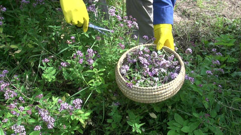 cut fresh medical majoram oregano herb blossom Live Action