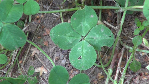 lucky four leaf clover on summer garden Live Action