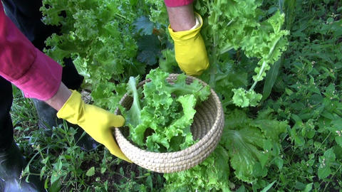 gardener picking fresh lettuce from garden ビデオ