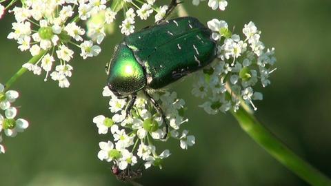 beautiful bug beetle chafer Cetonia aurata Footage