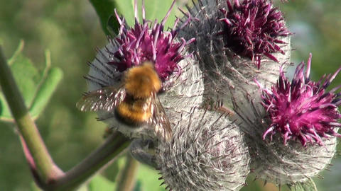 Great Burdock (Arctium lappa) flowers and bumblebee Footage
