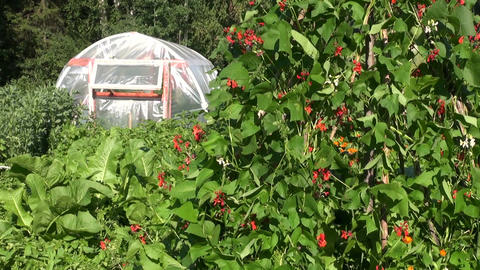 blossoming beans and greenhouse in summer garden Live Action