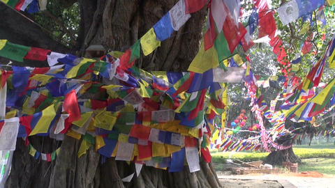 majestic tree with buddhist flags in Lumbini, Nepal Footage