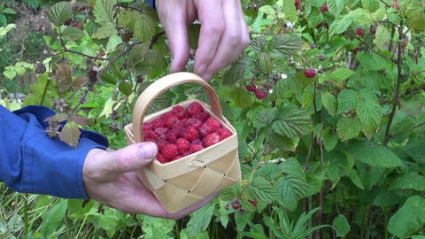 gardener picking wild ripe raspberries Footage