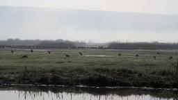 Common Crane Flock Footage