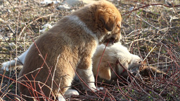 Feral dog puppies eating Footage