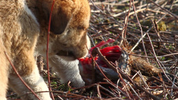 Feral dog puppies eating meat Footage