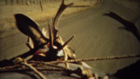 1939: Looking out car windshield driving with whitetail deer antlers Footage