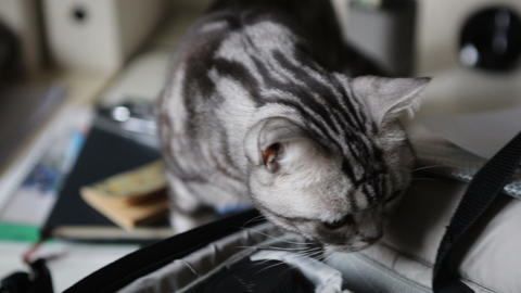 American Shorthair cat Live Action