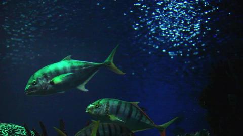 trevally fish Footage