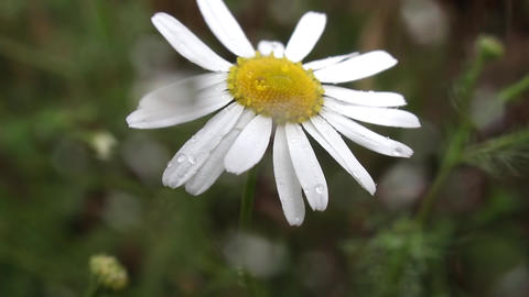 Wild daisies in summer cold rain 48b Footage