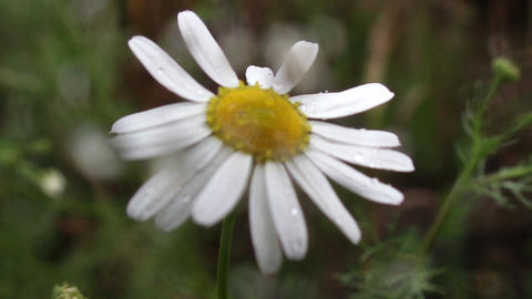 Wild daisies in summer cold rain seen through a glass full of raindrops 48a Footage