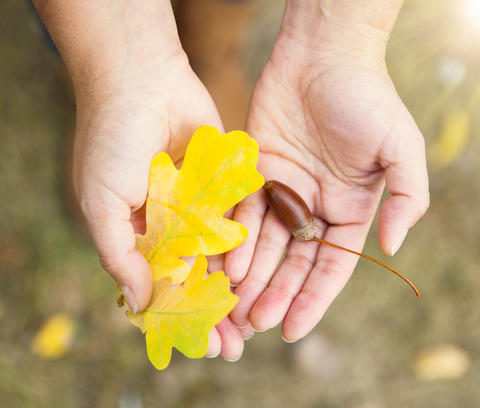 yellow oak leaf and acorn in female hands フォト